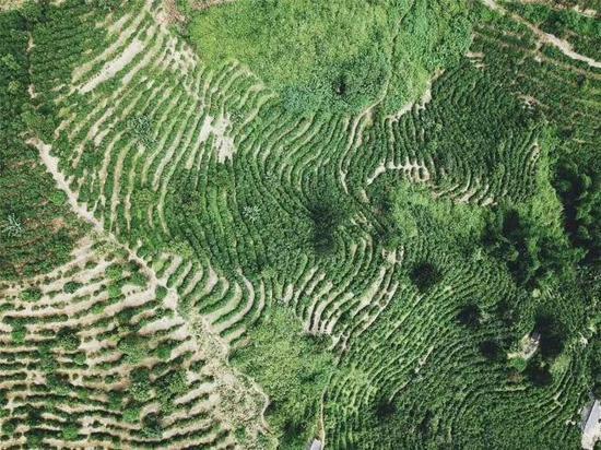 林润庄园的千亩咖啡田