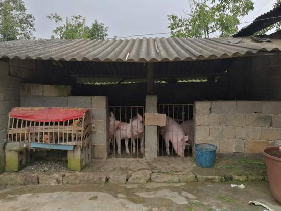 贫困户自己的猪舍