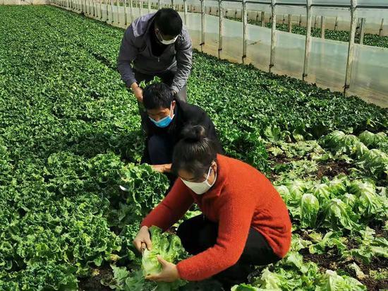 蔬菜种植户张丽娟采摘意大利生菜