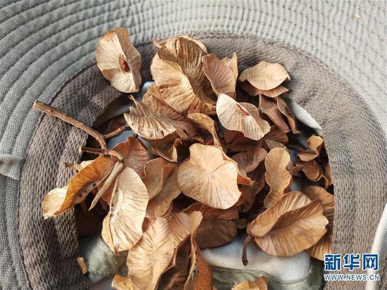 这是4月16日拍摄的科研人员从野外采集到的滇桐果实和种子。 新华社发(徐聪丽摄)
