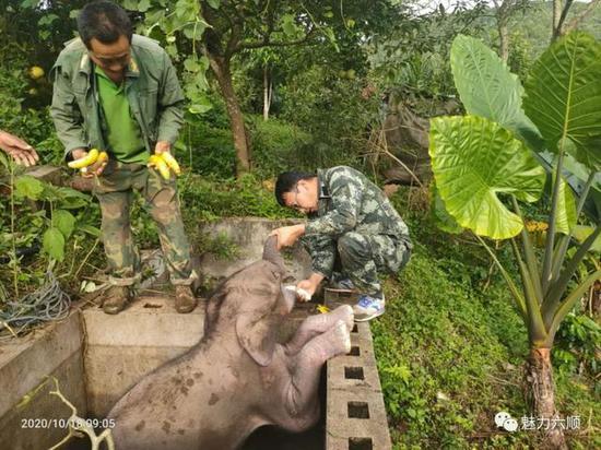 普洱一头小象不慎掉入洗咖啡水池 幸好被成功营救