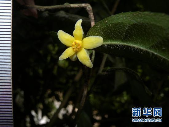 花朵正在绽放的云南管蕊茶。杨世雄 摄