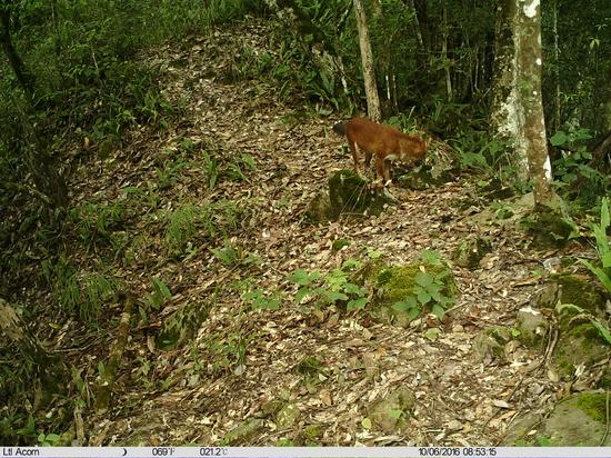 红豺 南滚河国家级自然保护区供图