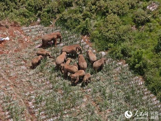 今年7月,象群在红河州石屏县龙武镇活动画面。云南省森林消防总队供图