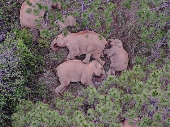民警用无人机拍下的大象睡觉画面