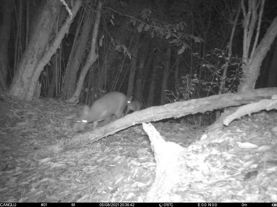 生物多样性之美|云南昌宁:红外相机拍摄到林麝母子影像