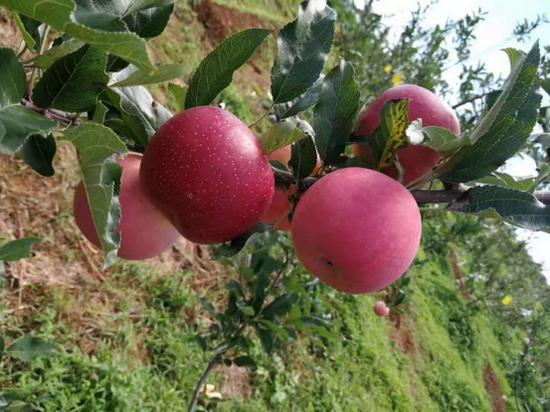 昆明鸿垚农业开发投资有限公司 苹果