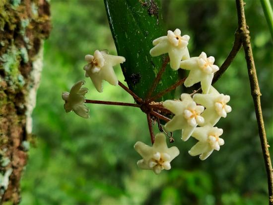 高黎贡球兰的花朵(郁云江/摄)