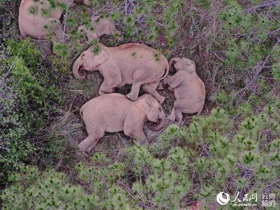 玉溪峨山,象群在睡觉。云南省森林消防总队供图