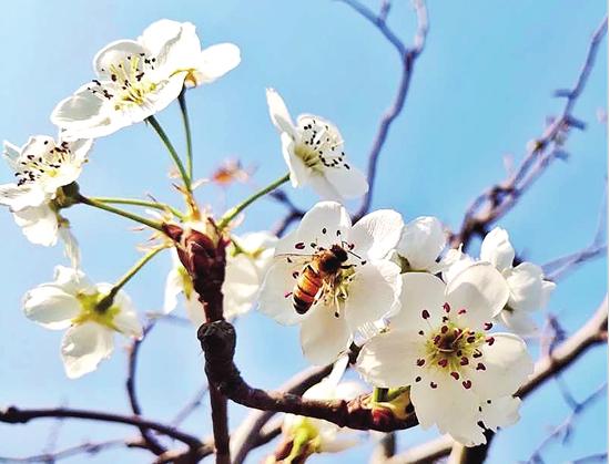 云品丨呈贡区第八届梨花节启动 邀你一起 云赏梨花