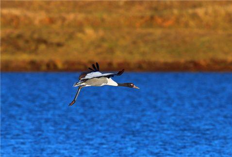 云南昭通大山包黑颈鹤数量达1623只 创历史最高值