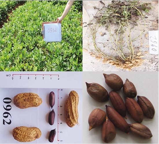 云品丨云南省农科院选育富含亚麻酸花生新品种