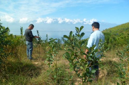 截止目前绿化地块的旱冬瓜青花椒混交造林生长实况