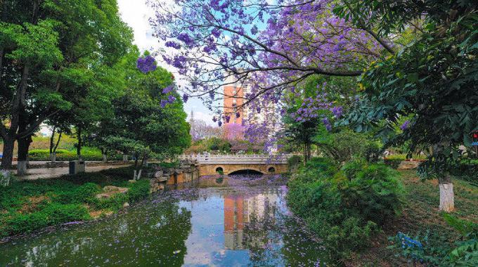 红河开远泸江公园的蓝楹花 美的让人窒息!