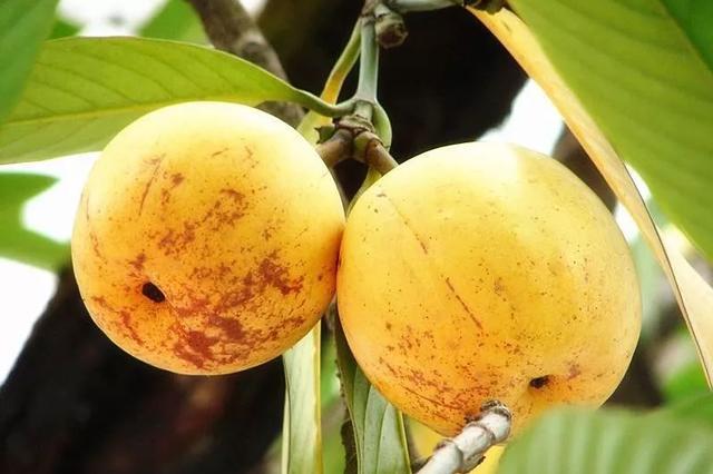 珍稀濒危植物大果藤黄在云南省实现人工繁育