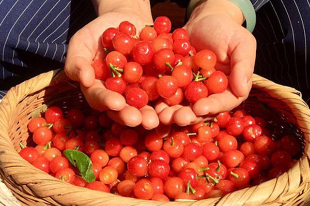 昆明富民县赤鹫镇4000亩樱桃已成熟