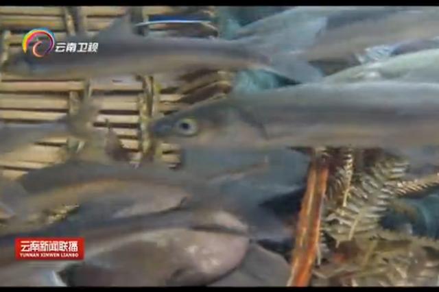 【视频】抚仙湖:越来越多抗浪鱼靠岸产卵