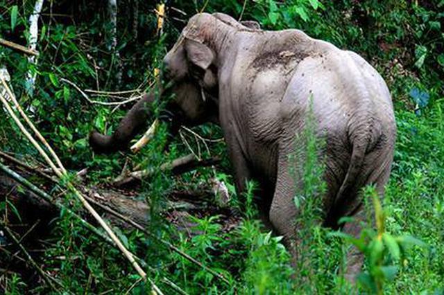 【视频】西双版纳州勐海县勐往乡野象攻击致一人死亡