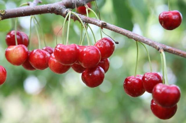 【视频】云南鲁甸:樱桃红 果农笑了