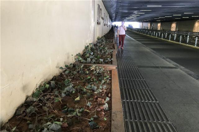 昆明北站隧道绿化带快干死 有人管么?
