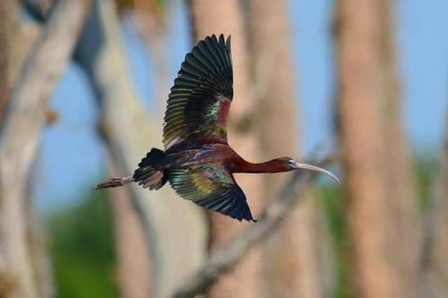 云南拉市海湿地候鸟群再添3位新成员