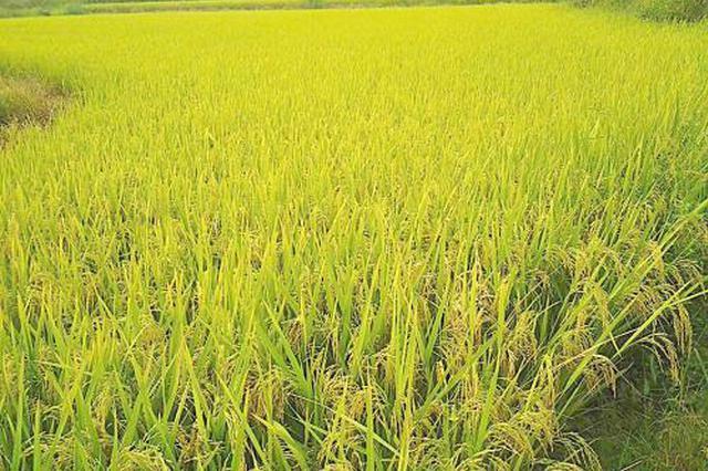 云南5个水稻新品亮相国家级展示平台获好评