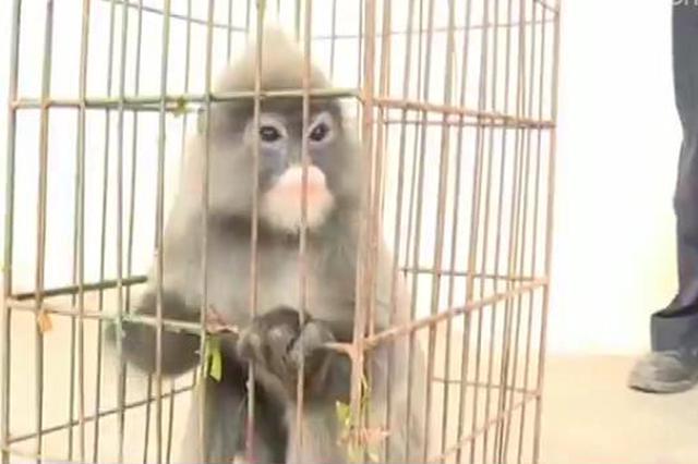 视频:云南普洱 灰叶猴进村 警民及时救助