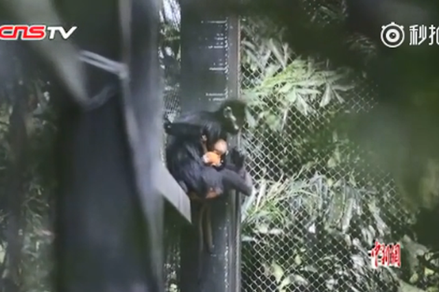 视频丨萌化了!快来看世界首例珍稀黑叶猴龙凤胎