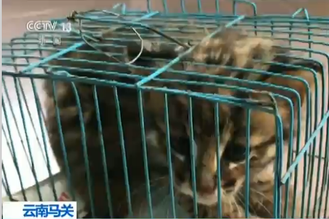 视频丨豹猫误入停车场 警民联手救助放生