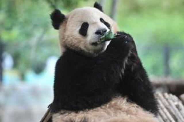 """视频丨云南野生动物园小动物吃""""粽子""""提前过端午"""