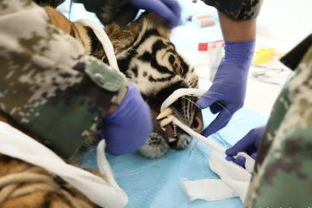 小老虎食量下降原是患牙病 动物医生40分钟洗牙治疗
