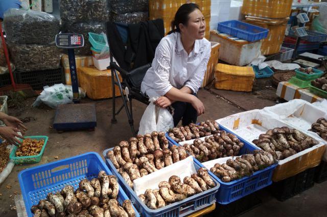 吃货福利!昆明市场松茸低至70元/公斤 人人买得起