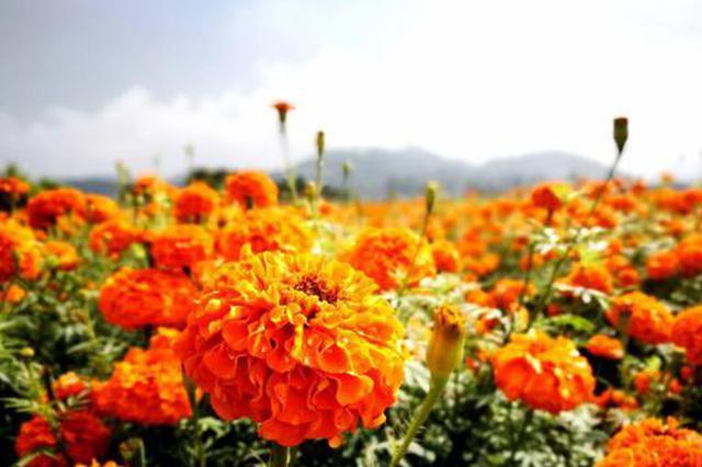 组图丨来云南腾冲 高黎贡山下两万余亩万寿菊等你赏