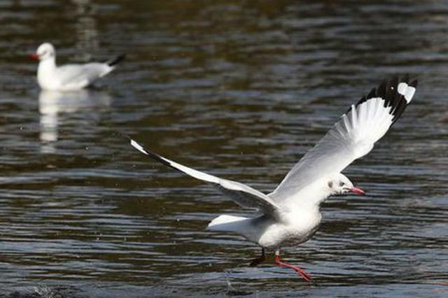 红嘴鸥先头部队抵达昆明滇池 数量达上百只
