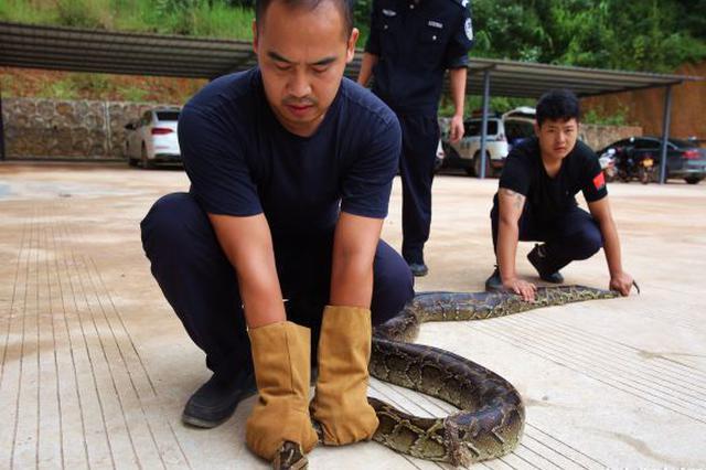 西双版纳缅甸蟒被山洪冲进稻田 体长4米重21.5公斤