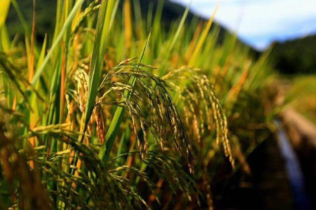 旅游丨丰收的喜悦:在临沧的金黄稻田里捉稻香鱼
