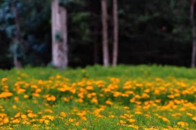 云南郊野公园邀你去寻香  6万株芳香万寿菊开放