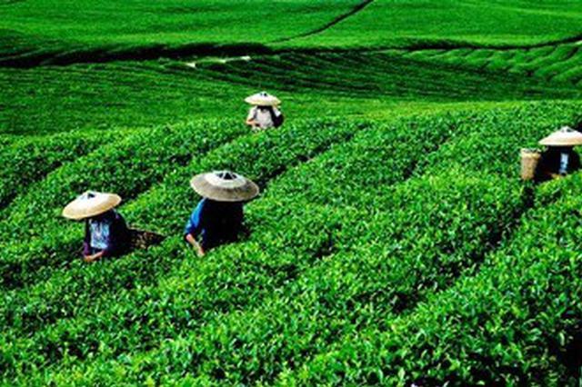 2022年云南有机茶园面积要达全国第一 产值超1200亿元