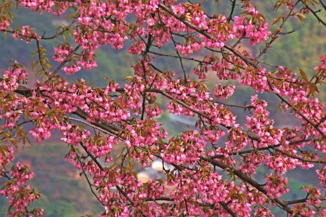 云品丨云南大理:茶山上的樱花,又盛开了哦!