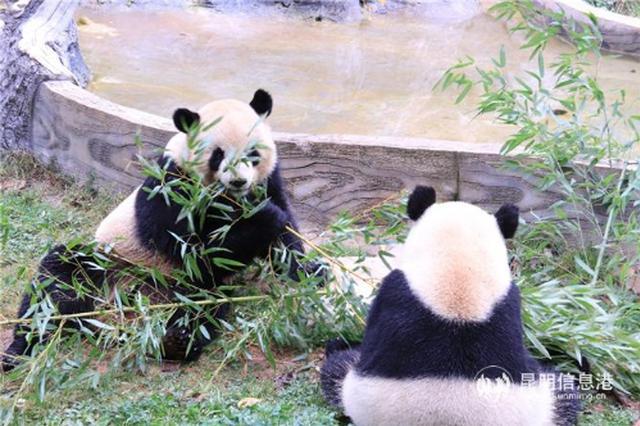 云南野生动物园大熊猫冬日卖萌 每天吃100公斤竹子