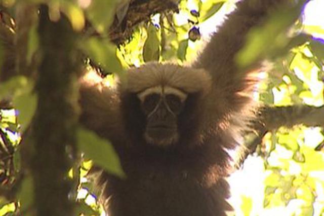 云南拍到濒危物种高黎贡白眉长臂猿影像