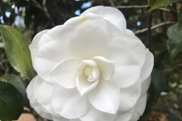 云品丨茶花报春!到昆明植物园赏花去