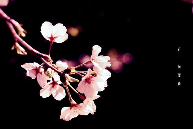 视频丨昆明樱花盛潮 乱花渐欲迷人眼
