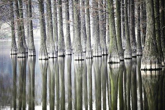 云南古水杉林为何消失?东亚季风加强成主因