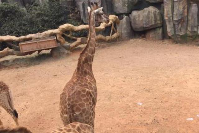 """云南野生动物园现""""土豪""""投人民币""""喂""""长颈鹿"""