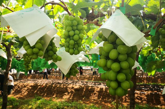 第二十五届全国葡萄学术研讨会在云南建水县开幕