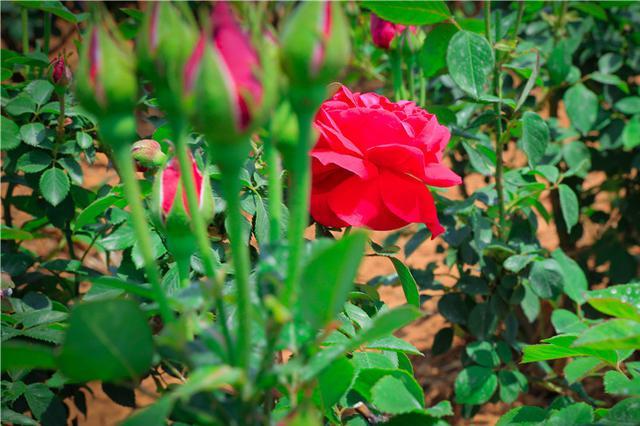 云南安宁:成片玫瑰含苞待放