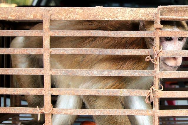 云南景洪:国宝熊猴偷食被困 警民联手解救