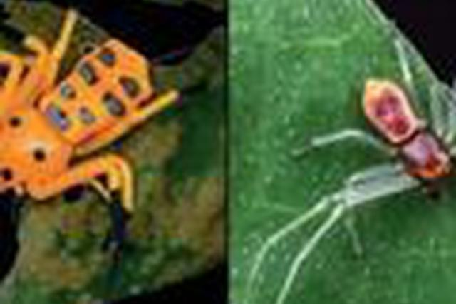 科学家在云南发现一蜘蛛新种:先导板蟹蛛