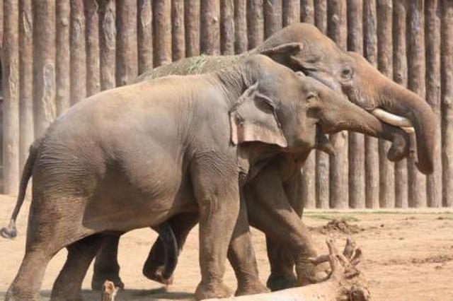 云南全面加强亚洲象保护及肇事防范管理
